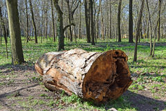Large tree trunk in the woods Royalty Free Stock Photography