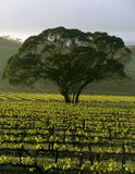 Large Tree in Vineyard Royalty Free Stock Image