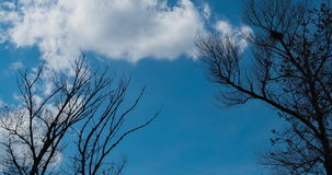 Large trees against the blue sky. stock video