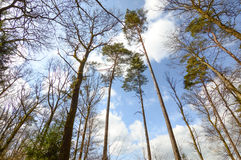 Large trees from bottom view in Ardennes, Belgium. Large trees bottom view in Ardennes, Belgium royalty free stock photos
