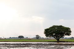Large trees on the field to prepare the soil. A large tree grows lonely on the rice field in the morning, which prepares the soil for planting Stock Images