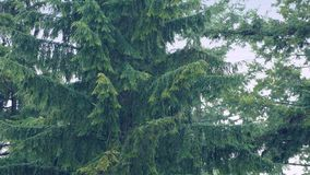Large Trees In Heavy Rain stock video