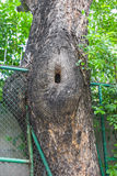 Large trees with holes and an iron fence Royalty Free Stock Photography