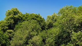 Large Trees On Nice Summer Day. Woods in the sun with tall trees gently swaying stock video