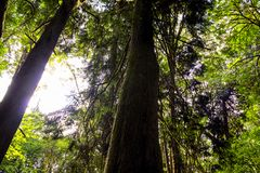 Large trees stretch upwards Royalty Free Stock Images