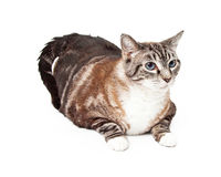 Large Tri-Colored Tabby Cat Laying Stock Photography