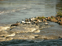 Large tropical birds bathing in the sun. A flock of large tropical birds bathe in the sun on rocks exposed by the low waters in a river Royalty Free Stock Photos