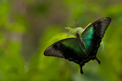 A large tropical exotic butterfly with black unfurled wings and a little turquoise color on its wings, against a background of gre. Large tropical exotic Stock Image
