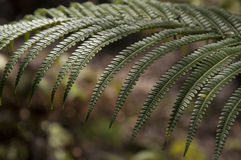 Large tropical fern leaf in Hawaii. Royalty Free Stock Image