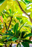Large tropical green leafs, leaves Royalty Free Stock Image