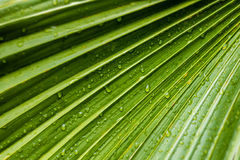 Large tropical green leafs wet with raindrops Royalty Free Stock Image