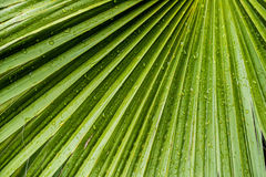 Large tropical green leafs wet with raindrops Royalty Free Stock Images