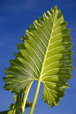 Large tropical leaf Royalty Free Stock Photos