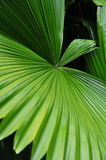 Large tropical leaf Royalty Free Stock Photography