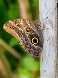Owl Butterfly resting on a post Royalty Free Stock Photography