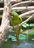 Large tropical parrot Royalty Free Stock Photos