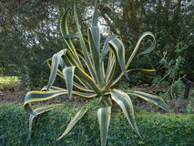 Large Tropical Plant. At Bok Tower Gardens, Lake Wales, Florida Stock Image