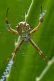 Large tropical spider Royalty Free Stock Image