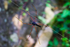 Large tropical spider - nephila (golden orb) Royalty Free Stock Image