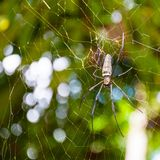 Large tropical spider in the web Royalty Free Stock Image