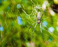 Large tropical spider in the web Royalty Free Stock Images