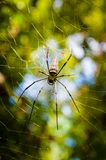 Large tropical spider in the web Stock Photography
