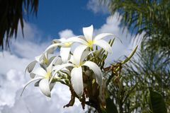 Large Tropical White Lilies and Blue Skies. A group of blooming white tropical lilies in a outdoor garden with palms. View of blue sky with puffy white clouds Royalty Free Stock Photos