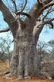 Large trunk of baobab tree Stock Photos