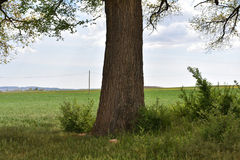 Large trunk. A large trunk of a large tree located in the meadow Royalty Free Stock Photos