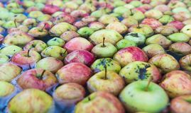 Large tub filled with fresh apples in water. Orchard fresh apples in a large tub filled with water stock image