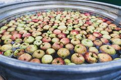 Large tub filled with fresh apples in water. Orchard fresh apples in a large tub filled with water stock photography