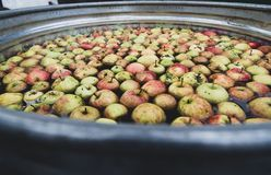 Large tub filled with fresh apples in water. Orchard fresh apples in a large tub filled with water royalty free stock photo