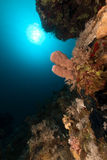 Large tube-sponge in the Red Sea. Stock Photography