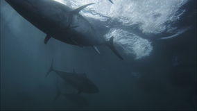 Large tuna. Underwater shot of farmed blue-fin tuna feeding stock video footage