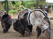 Large turkeys show their beautiful tails . stock video