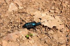 Large turquoise beetle, bug Royalty Free Stock Photo