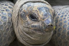 Large turtle. Large ancient turtle staring at you Stock Image