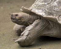 Large turtle. Large ancient turtle on the zoo grounds Stock Photography