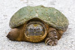 Large turtle Royalty Free Stock Photography