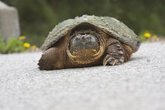 Large turtle Stock Photography