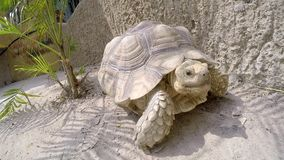 Large turtle crawling on sand in the zoo. Close-up stock video