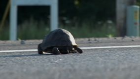 Large turtle is crossing concrete road shot from low angle stock video