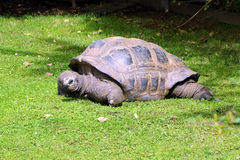 Large turtle,  friendly animals at the Prague Zoo. Stock Photo