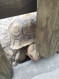Large Turtle with huge shell trying to sneak through a wooden fence. Shells has a design and scales on the feet royalty free stock photography