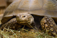 Large turtle lies in sawdust. Large turtle sitting in sawdust looking at the camera Stock Image