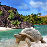 Large turtle (Megalochelys gigantea). At the sea edge on background of a tropical landscape Royalty Free Stock Image