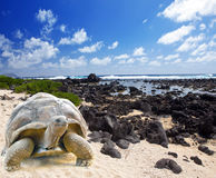 Large turtle (Megalochelys gigantea) at the sea edge on background of tropical landscape. Royalty Free Stock Images