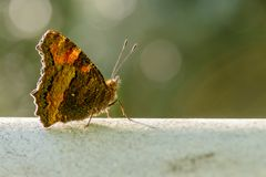 Large Tortoiseshell, Nymphalis polychloros butterfly Stock Images