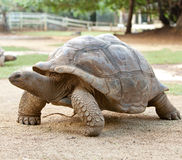 Large turtle.Portrait in a sunny day Royalty Free Stock Images