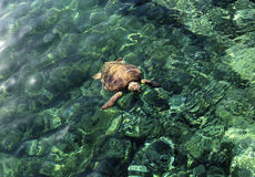 The large turtle in the sea royalty free stock photo